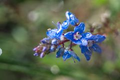 Mountain blue flower. In macro shot with water drop stock photo