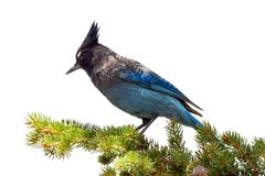 Mountain blue jay sitting on a branch in Colorado stock photo