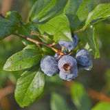 Mountain Blueberries Ripening in the Sun Stock Photo