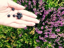 Mountain blueberry in hand Royalty Free Stock Photos