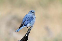 Mountain Bluebird Royalty Free Stock Photography
