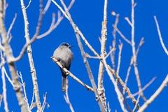 Mountain Bluebird Royalty Free Stock Image