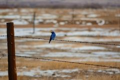 Mountain Bluebird on barbed-wire fence