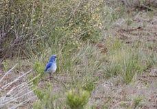 Mountain Bluebird Bird Standing in Desert Brush Stock Image