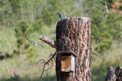 Mountain Bluebird Stock Images