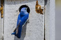 Mountain Bluebird Clinging to its Weathered Wooden Nesting Box royalty free stock photos