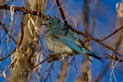 Mountain Bluebird Closeup stock photos