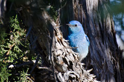 Mountain Bluebird Hiding in a Pinyon Pine Tree Stock Photography