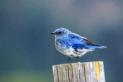 Mountain Bluebird. This image of a Mountain Bluebird was captured at Jackson Hole, Wyoming in late summer. The photograph was taken in early morning light royalty free stock photos