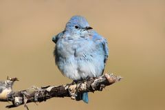 Mountain Bluebird Royalty Free Stock Image