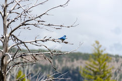 Mountain Bluebird in Yellowstone Stock Photo