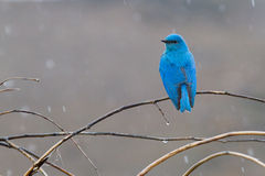 Mountain Bluebird. A neon blue mountain bluebird perches on a branch on a rainy day Royalty Free Stock Images