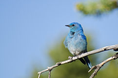 Mountain Bluebird Perched in a Tree Stock Photography