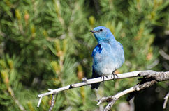Mountain Bluebird Perched in a Tree Stock Photo