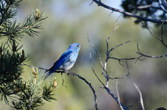 Mountain Bluebird Perched in a Tree Royalty Free Stock Photography