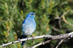 Mountain Bluebird Perched in a Tree Royalty Free Stock Images
