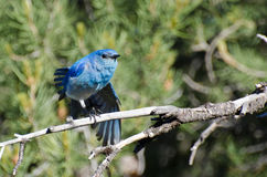 Mountain Bluebird Perched in a Tree Stock Images