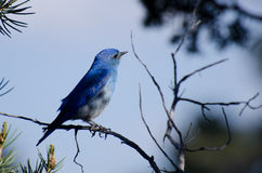 Mountain Bluebird Perched in a Tree Stock Image