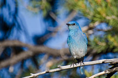 Mountain Bluebird Perched in a Tree Royalty Free Stock Image