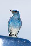 Mountain bluebird Royalty Free Stock Photos