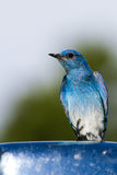 Mountain bluebird Royalty Free Stock Photo