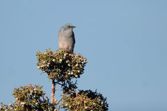 Mountain Bluebird, Sialia currucoides Stock Image