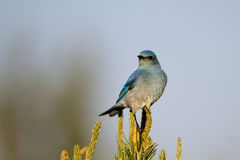 Mountain Bluebird, Sialia currucoides. A Mountain Bluebird perches atop a New Mexico pinyon pine Royalty Free Stock Photography