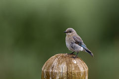 Mountain Bluebird, Sialia currucoides Royalty Free Stock Image