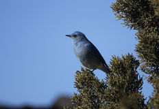Mountain bluebird, Sialia currucoides. On branch Royalty Free Stock Photography