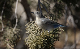 Mountain bluebird, Sialia currucoides. On branch Royalty Free Stock Photos
