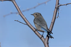 Mountain bluebird, Sialia currucoides. On branch Stock Photos