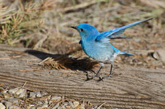Mountain Bluebird Stretching its Wings Stock Images