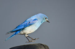 Mountain Bluebird Suspended in Midair Stock Photo