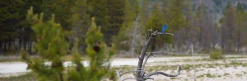 Mountain Bluebird in Yellowstone Royalty Free Stock Images