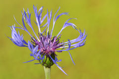 Mountain bluet ( Centaurea montana) Royalty Free Stock Photo