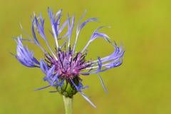 Mountain bluet ( Centaurea montana). Close-up Royalty Free Stock Photo