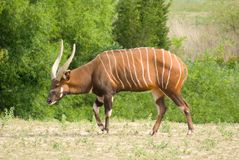 Mountain Bongo. (Tragelaphus eurycerus isaaci) is only found in the wild in one remote region of central Kenya. The  is classified as endangered with more stock image