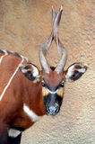 Mountain Bongo. Male African Mountain Bongo Antelope royalty free stock image
