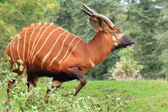 Mountain bongo. The adult mountain bongo in the grass Royalty Free Stock Images