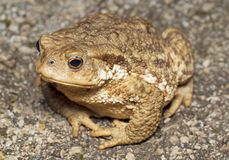 Mountain brown frog (toad) Stock Images