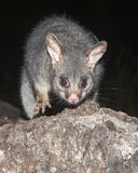 Mountain brush-tailed possums Royalty Free Stock Images