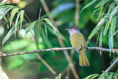 Mountain Bulbul in the forest Royalty Free Stock Photography