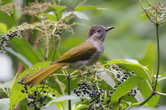 Mountain Bulbul Ixos mcclellandii Birds of Thailand Royalty Free Stock Photography