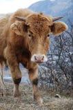Mountain bull Royalty Free Stock Image