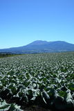 Mountain and cabbage field Royalty Free Stock Image