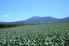 Mountain and cabbage field Stock Images