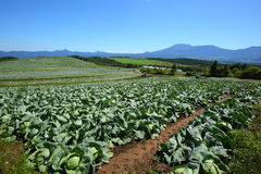 Mountain and cabbage field Stock Photos