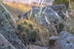 Mountain cactus growing between boulders. At sunset in Eagle Mountain Utah royalty free stock photos