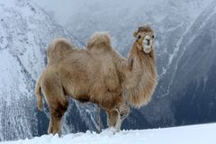 Mountain camel Royalty Free Stock Photography