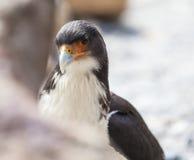 Mountain Caracara bird. Carnivore bird. The Mountain Caracara (Phalcoboenus megalopterus) is a species of bird of prey in the Falconidae family Stock Photos